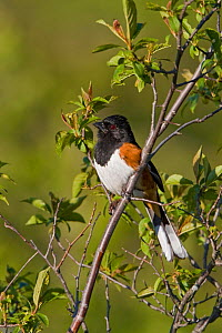 Rufous sided / Eastern Towhee (Pipilo erythrophthalmus) on a branch in Ontario, Canada.  -  Visuals Unlimited
