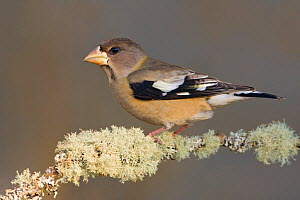 Evening Grosbeak (Coccothraustes vespertinus) perched on a branch on Vancouver Island, British Columbia, Canada.  -  Visuals Unlimited