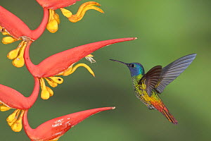 Golden-tailed Sapphire (Chrysuronia oenone) male hovering at a flower, Wildsumaco Reserve, Ecuador. - Visuals Unlimited
