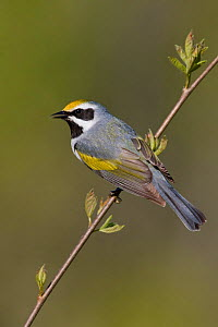 Golden winged Warbler (Vermivora chrysoptera) male singing from a branch, Ontario, Canada.  -  Visuals Unlimited