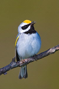 Golden winged Warbler (Vermivora chrysoptera) male singing, perched a branch, Ontario, Canada.  -  Visuals Unlimited