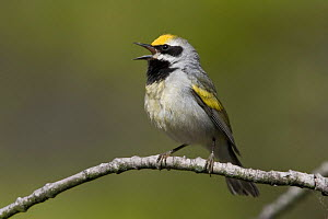 Golden-winged Warbler (Vermivora chrysoptera) male singing on a branch, Ontario, Canada.  -  Visuals Unlimited