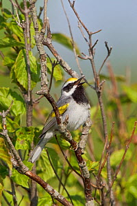 Golden winged Warbler (Vermivora chrysoptera) male singing on a branch, Ontario, Canada.  -  Visuals Unlimited