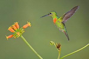 Gould's Jewelfront (Heliodoxa aurescens) approaching a red tubular flower to feed, Wildsumaco Reserve, Ecuador.  -  Visuals Unlimited