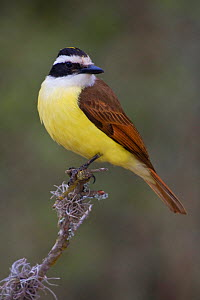 Great Kiskadee (Pitangus sulphuratus) perched on a branch in South Texas, USA.  -  Visuals Unlimited