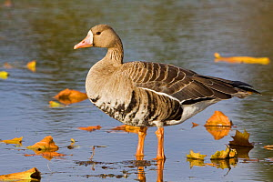 White fronted Goose (Anser albifrons), Victoria, British Columbia, Canada.  -  Visuals Unlimited