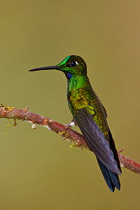 Green crowned Brilliant (Heliodoxa jacula) male perched on a branch, Tandayapa Valley, Ecuador.  -  Visuals Unlimited