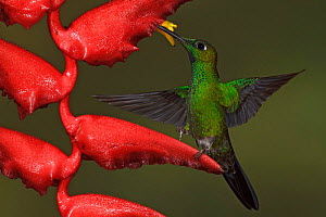 Green crowned Brilliant (Heliodoxa jacula) feeding at a flower, Milpe Reserve in northwest Ecuador.  -  Visuals Unlimited