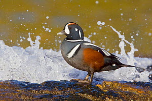 Harlequin Duck (Histrionicus histrionicus) perched on a rock near crashing surf, Victoria, British Columbia, Canada.  -  Visuals Unlimited