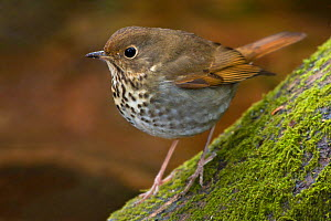 Hermit Thrush (Catharus guttatus) perched on a branch in Victoria, British Columbia, Canada.  -  Visuals Unlimited