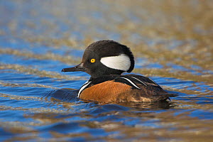 Hooded Merganser (Lophodytes cucullatus) male swimming on a pond in Victoria, British Columbia, Canada. - Visuals Unlimited