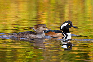 Hooded Merganser (Lophodytes cucullatus) pair swimming on a pond in Victoria, British Columbia, Canada. - Visuals Unlimited