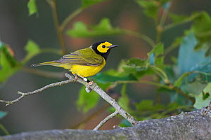 Hooded Warbler (Setophaga / Wilsonia citrina) perched on a branch, Ontario, Canada.  -  Visuals Unlimited