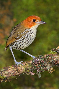 Chestnut crowned Antpitta (Grallaria ruficapillas) perched on a branch, Papallacta Pass in the highlands of central Ecuador.  -  Visuals Unlimited