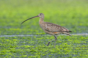 Long billed Curlew (Numenius americanus) wading in shallow water, Victoria, British Columbia, Canada.  -  Visuals Unlimited