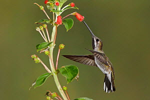 Long billed Starthroat (Heliomaster longirostris) hovering and feeding at a red, tubular flower, Ecuador.  -  Visuals Unlimited