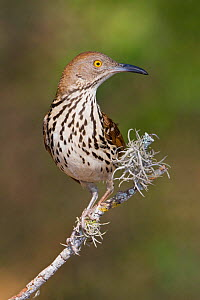 Long billed Thrasher (Toxostoma longirostre) perched on a branch, South Texas, USA.  -  Visuals Unlimited