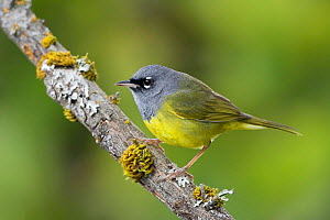 Macgillivray's warbler (Oporornis tolmiei) perched on a branch, Victoria, British Columbia, Canada.  -  Visuals  Unlimited