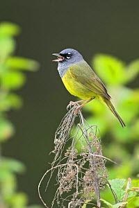 Macgillivray's warbler (Oporornis tolmiei) singing on a branch, Victoria, British Columbia, Canada.  -  Visuals  Unlimited