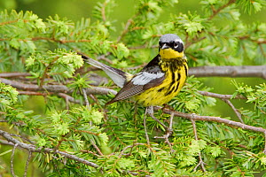 Magnolia Warbler (Setophaga / Dendroica magnolia) male perched on a spruce branch, Ontario Canada.  -  Visuals Unlimited
