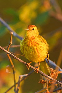 Mangrove or Yellow Warbler (Setophaga / Dendroica petechia) perched on a branch near the coast of Ecuador.  -  Visuals Unlimited