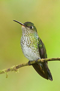 Many-spotted Hummingbird (Taphrospilus hypostictus) perched on a branch, Wildsumaco Reserve, Ecuador.  -  Visuals Unlimited