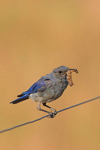 Mountain Bluebird (Sialia currucoides) sitting on a wire fence with an insect larva in its bill in the grasslands of Canada.  -  Visuals Unlimited