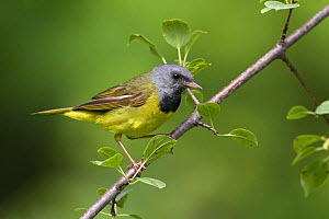 Mourning warbler (Oporornis philadelphia) perched on a branch, Ontario, Canada.  -  Visuals  Unlimited