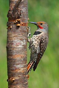 Northern Flicker (Colaptes auratus) perched on a tree trunk, Victoria, British Columbia, Canada.  -  Visuals Unlimited