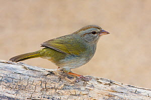 Olive Sparrow (Arremonops rufivirgatus), south Texas, USA.  -  Visuals Unlimited