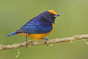 Orange-bellied Euphonia (Euphonia xanthogaster) perched on a branch, Mindo Loma Reserve, Ecuador.  -  Visuals Unlimited