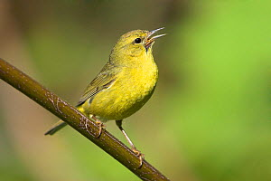 Orange-crowned Warbler (Vermivora celata) perched on a branch and singing, Victoria, British Columbia, Canada.  -  Visuals  Unlimited