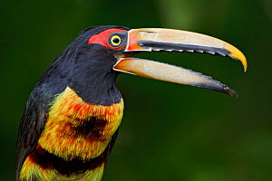 Pale mandibled Aracari (Pteroglossus erythropygius) male head portrait, Milpe Reserve, Ecuador.  -  Visuals Unlimited
