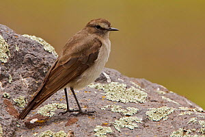 Plain-capped / Paramo Ground Tyrant (Muscisaxicola alpinus) perched on a rock in the highlands of Ecuador.  -  Visuals Unlimited