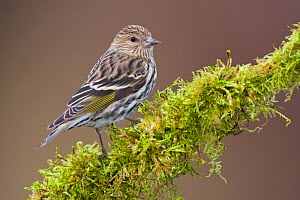 Pine Siskin (Carduelis pinus) perched on a branch, Victoria, British Columbia, Canada.  -  Visuals Unlimited