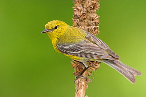 Pine Warbler (Setophaga / Dendroica pinus) perched on a branch, Ontario, Canada.  -  Visuals Unlimited