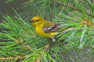 Pine Warbler (Dendroica pinus) perched on a Pine branch, Ontario, Canada.  -  Visuals Unlimited