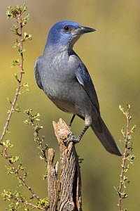 Pinyon Jay (Gymnorhinus cyanocephalus) perched on a branch, Oregon, USA.  -  Visuals Unlimited
