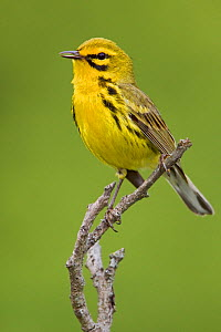 Prairie Warbler (Setophaga / Dendroica discolor) perched on a branch, Ontario, Canada.  -  Visuals Unlimited