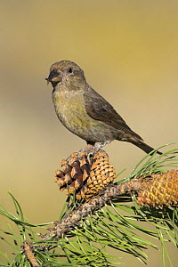 Red Crossbill (Loxia curvirostra) perched on a branch, Oregon, USA. - Visuals Unlimited