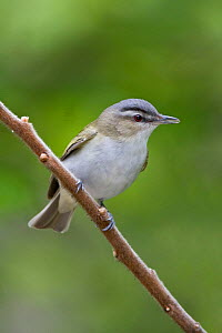 Red eyed Vireo (Vireo olivaceus) perched on a branch, Ontario, Canada.  -  Visuals Unlimited