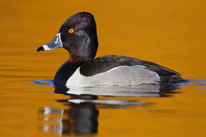 Ring necked Duck (Aythya collaris) male swimming on a golden pond in Victoria, British Columbia, Canada.  -  Visuals Unlimited
