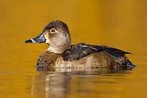Ring necked Duck (Aythya collaris) female swimming on a golden pond, Victoria, British Columbia, Canada.  -  Visuals Unlimited