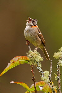 Rufous collared Sparrow (Zonotrichia capensis) perched on a branch and singing, Tapichalaca Reserve, Southeast Ecuador.  -  Visuals Unlimited