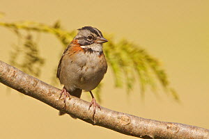 Rufous collared Sparrow (Zonotrichia capensis) perched on a branch, Jerusalem Reserve, Central Ecuador.  -  Visuals Unlimited