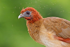 Rufous headed Chachalaca (Ortalis erythroptera), Southwest Ecuador.  -  Visuals Unlimited