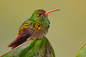 Rufous tailed Hummingbird (Amazilia tzacatl) perched on a leaf, Tandayapa Valley, Ecuador. - Visuals Unlimited