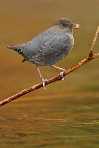 American Dipper (Cinclus mexicanus) perched on a branch with berry in beak, Victoria, British Columbia, Canada.  -  Visuals Unlimited