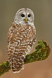 Barred Owl (Strix varia) portrait, Ontario, Canada. - Visuals Unlimited