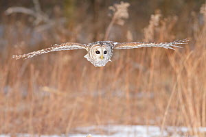 Barred Owl (Strix varia) hunting for prey, Ontario, Canada. - Visuals Unlimited